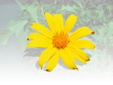 Free Isolated Sunflower With A Leaf Stock Images - 6794624