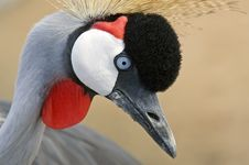 Free African Crowned Crane Royalty Free Stock Photo - 6795645