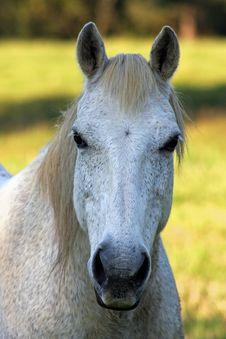 Free Grey Paddock Mare Stock Photography - 6796162