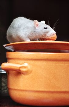 Free Rat In Kitchen Royalty Free Stock Photos - 6796178