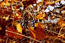 Free Autumn Grapes Stock Photo - 6796390