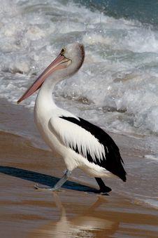 Free Pelican Stock Photos - 6796553
