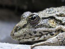 Free Frog Royalty Free Stock Photo - 6796695