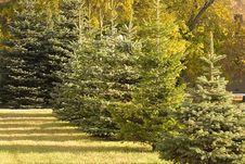 Free Autumn Evergreen Trees. Stock Photos - 6796863