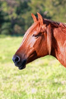 Free Sunburnt Equine Royalty Free Stock Photos - 6796868