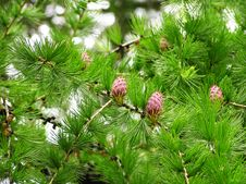 Free Plants With Cones Royalty Free Stock Images - 6796969
