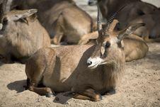 Free Antelope Stock Images - 6797344