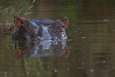 Free Hippopotamus Royalty Free Stock Images - 6797369
