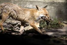 Free Fox Stock Photo - 6797370
