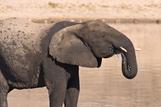 Free African Elephant Royalty Free Stock Images - 6797379