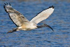 Free African Sacred Ibis Royalty Free Stock Photos - 6797448