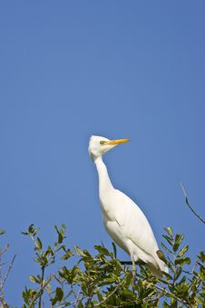 Free A Cattle Egret Perched In A Tree Stock Photography - 6798182