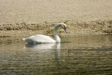 A Mute Swan Feeding Along The Bank Royalty Free Stock Image