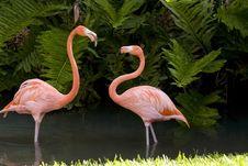 Free A Pair Of Flamingos Royalty Free Stock Photo - 6798405