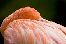 Free A Flamingo Resting His Head Royalty Free Stock Photography - 6798507