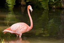Free A Flamingo Wading In A Pool Royalty Free Stock Photo - 6798575