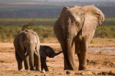 Free Three Elephants Royalty Free Stock Photography - 6798627