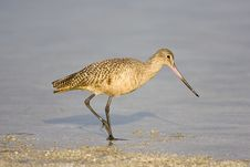 Marbled Godwit Walks The Beach Stock Image