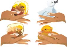 Free Chickens And Duckling On Hands Royalty Free Stock Images - 6798889