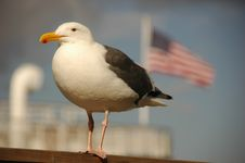 Free Seabird, Stars And Stripes Stock Images - 6799024