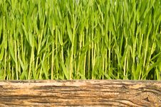 Free Green Stalks Royalty Free Stock Photography - 6799247