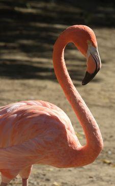 Free Pink Flamingo Royalty Free Stock Photo - 6799495