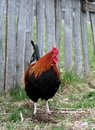 Free Rooster Stock Images - 686034