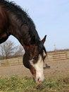 Free Chestnut Stallion Royalty Free Stock Photos - 688028