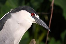 Free BLACK NIGHT HERON Royalty Free Stock Photo - 680835