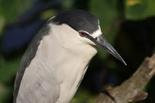 Free CROWNED HERON Royalty Free Stock Photo - 680865