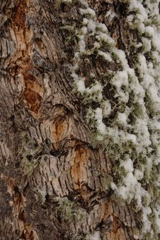 Free Moss Snow Bark Stock Image - 680941
