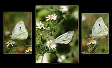 Free Sulphur Butterfly Trio Stock Photos - 681453