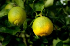 Free Two Limes Stock Photography - 681762