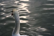 Free The Swan Stock Images - 681884