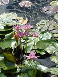 Free Pink Tropical Water Lily S Royalty Free Stock Images - 682049