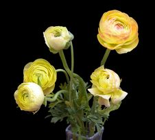 Free Ranunculus Stock Photos - 682823