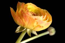Free Ranunculus Royalty Free Stock Photo - 683005