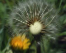Free Wind Blown Dandelion Royalty Free Stock Image - 683206