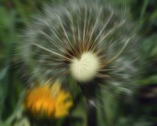 Wind Blown Dandelion Royalty Free Stock Image