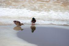Free Ducks Royalty Free Stock Photo - 683695