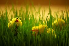 Free Easter Chicks Royalty Free Stock Photography - 683697
