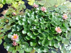 Free Water Lily Garden Stock Photography - 683832
