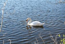 Free Swan Stock Images - 683894