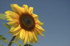 Free Happy Sunflower Stock Photos - 685003