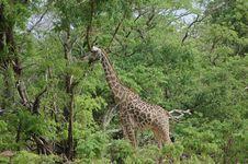 Free Giraffe Stock Photo - 685920