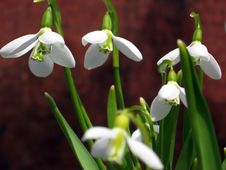 Free White Snowdrops On Red Stock Photos - 686923