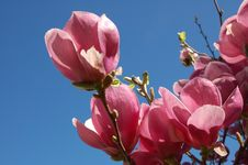 Free Pink Blossoms Stock Image - 686971