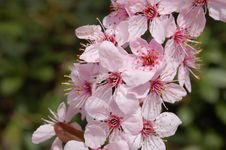 Free Pink Blossoms Royalty Free Stock Photography - 686987