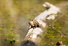 Free Sunning Frog Stock Photography - 687142