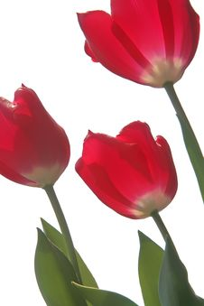 Free Tulip Trio Stock Photos - 687383